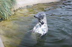 """Seal in """"Fokarium Hel"""" Animals Photos, My Animal, Poland, Whale, Europe, Pictures, Photos, Whales, Grimm"""