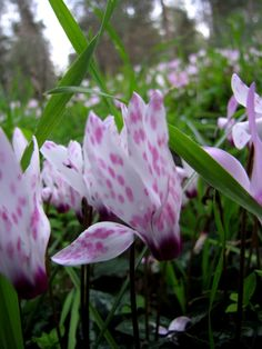 Types of Houseplant Bugs and Methods to Check Their Infestation Rare Spotted Cyclamen L Wildflowers In The Galilee