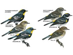 Image from http://images.nationalgeographic.com/wpf/media-live/photos/000/171/overrides/yellow-rumped-warbler-illustration_17191_600x450.jpg.