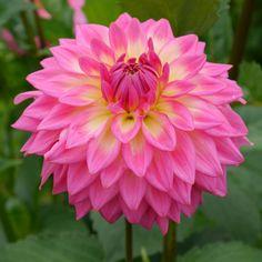 dahlia bloomquist parasol - Google Search
