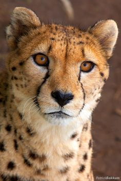 .cheetah   ...........click here to find out more     http://googydog.com