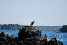 Osprey With Wings Extended Print by DejaVu Designs
