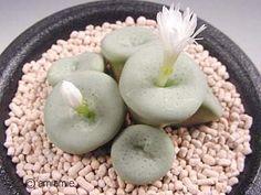 Conophytum middlemostii