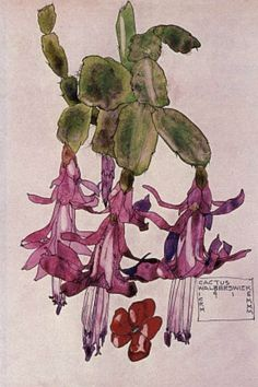 Botanical Painting: Cactus Flower, Walberswick, 1915 by Charles Rennie Mackintosh Charles Rennie Mackintosh, Botanical Drawings, Botanical Prints, Flower Drawings, Drawing Flowers, Flower Paintings, Illustrations, Illustration Art, Fleurs Art Nouveau