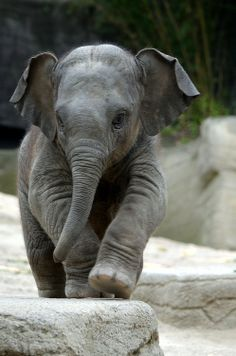 Super cute elephant. #cute #animals #elephant