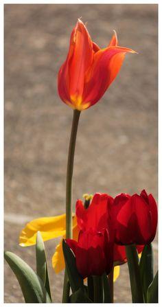 Tulips from my Garden