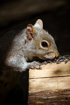 Squirrel by Shibuya Sakura