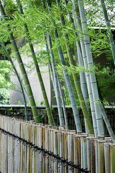 #valla #bambú y plantación de bambú