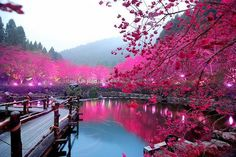 Cherry trees blossoming along a pond somewhere in Japan. So gorgeous!