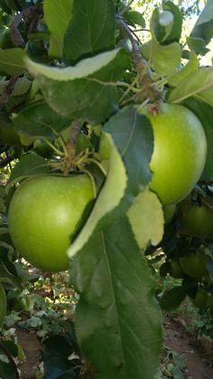 bahçemizdeki grismit elma