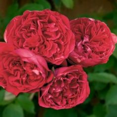 Red Eden:  Climber, very hardy, strong fragrance, excellent repeat.