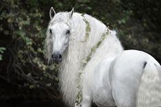 ⚜️ The King ⚜️ Horse: Express IV Breed: Pura raza Espanola Gender: . King Horse, Horse Mane, Andalusian Horse, Unicorn Horse, Horse Horse, Friesian Horse, Arabian Horses, Most Beautiful Horses, All The Pretty Horses