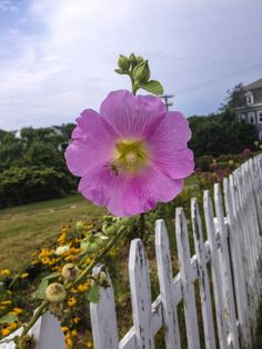 If you go too fast on Block Island, you'll miss these scenes. For now, Block Island is not a celebrity haunt, a presidential haven or a jet-setter's paradise. Barring the cars, it is simply a beautiful place.Pictured:Hollyhock grows along one of the ubiquitous white picket fences on Block Island.