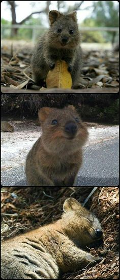 The quokka is said to be the happiest animal in the world! Rottnest Island  Perth Western Australia. We can't have them as pets but I can visit them, only a short boat trip away.