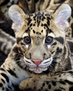 """What a face!  Clouded Leopard Cub, """"Riki-San"""",  looking adorable!  By Penny Hyde via Flickr."""