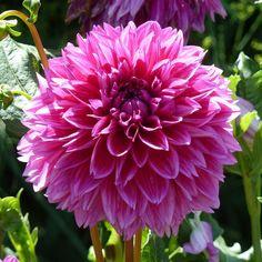 Dark Pink Dahlia Amazing Gardens, Dahlia Flowers, Landscape, Nature, Plants, Pink, Dahlias, Landscape Paintings, Flora