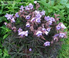 Geranium pretense 'Midnight Reiter' Zone 5 hardy