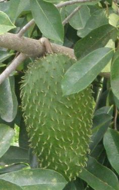 Guanabana. The juice from this fruit make the best pirogues ! Puerto Rico