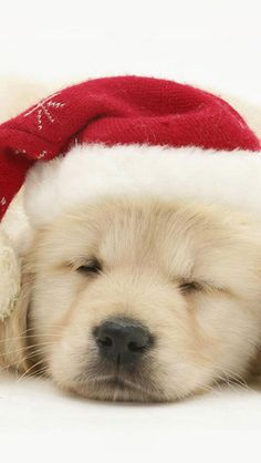 Cute Puppy In Christmas Hat IPhone 5s Wallpaper Retriever Dog