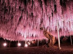 Egrow Rare Wisteria Flower Seeds Purple Wisteria Sinensis Sweet Seeds for Home Garden Plants Sims Flower Seeds - Banggood Mobile Wisteria Japan, Wisteria Plant, Purple Wisteria, Wisteria Sinensis, Parc Floral, Beautiful Places, Beautiful Pictures, Home Garden Plants, Garden Toys