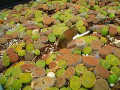 "Lithops, you can see why they are called ""Living Stones"""