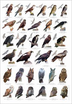 Raubvögel