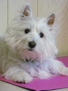 Animaladas on Pinterest | Westies, West Highland Terrier and White ...
