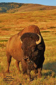 Montana Call of the Wild Photography July 2015 King of the Prairie A bison… Buffalo Animal, Buffalo Art, Beautiful Creatures, Animals Beautiful, Buffalo Pictures, Wild Photography, American Bison, Call Of The Wild, Big Sky Country