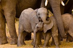 Baby Elephants, African Elephant herd, Camp Jabulani, Kapama Private Game Reserve, near Kruger National Park, South Africa ©Blaine Harrington