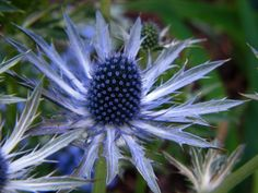 Blue sea holly by Audrey, Gardenista, and other thistle stand-ins and non-invasive thistles for the garden.