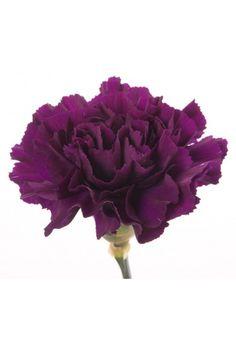 Types of Purple Flowers | Deep Purple Carnations