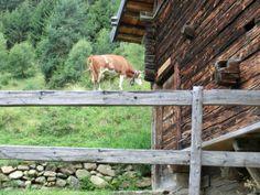 #Trentino, Mucca equilibrista - di Karletta
