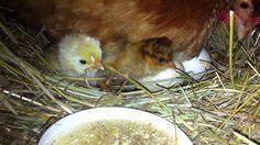 hranjenje jednodnevnih pilica u gnijezdu zajedno sa kvockom Chicken Life