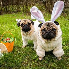 Happy Easter! Paste fericit! Boldog husveti unnepeket! 🐰🐇🥚 #mauricethepug #bubble #bubblethepug #happyeaster #pastefericit #boldoghusveti #bunny #easter #hollyday #spring #tirgumures #romania #puglife #puglife #pugchat #pugstory #pug #mops #dog #puppy