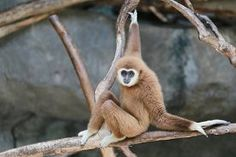 picture of gibbon - Gibbons on branch Tropical wildlife in Thailand - JPG