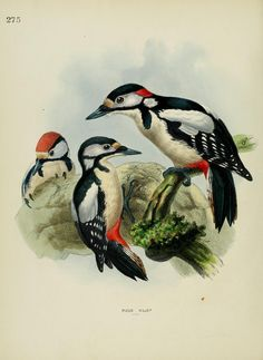 1861, c 1.v.5 - A history of the birds of Europe : H E Dresser - Biodiversity Heritage Library