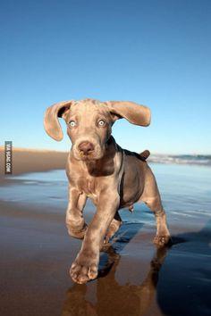 Weimaraner puppy on the beach. - http://geekstumbles.com/funny/weimaraner-puppy-on-the-beach/