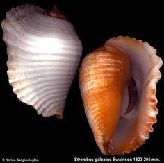 Strombus galeatus Swainson 1823 Gerontic.