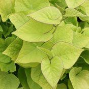 Sweet Caroline Sweetheart Light Green Ipomoea Plant
