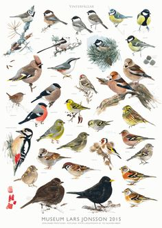 Wader Quest has been able to secure 26 signed copies of the new Lars Jonsson poster showing some winter birds to be seen in Sweden. Vogel Silhouette, Bird Identification, Flora Und Fauna, Bird Theme, Forest School, Wild Birds, Bird Watching, Bird Art, Bird Feathers