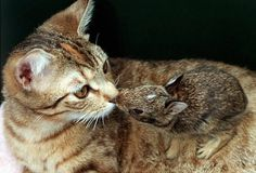 The cat-rabbit pairing seems to be one that works. Lucky, the cat has nursed and cared for a baby rabbit named Merlin along with her kittens as if it were her own.