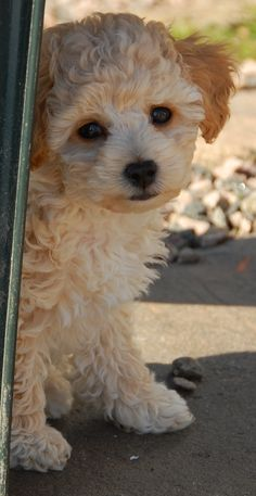 Poochon  Mix of Poodle and Bichon frisé  Oh, how I miss my little Annie.