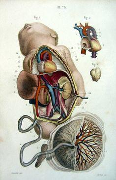 1852 antique anatomy print fetus engraving by LyraNebulaPrints