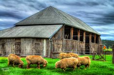 Wooly Sheep | by Kev Walker ¦ 7 Million Views..Thank You