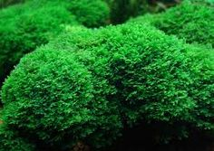 Mosses For Sale online, grower direct prices. We ship to all states. Live Moss Grab Bag for sale at low prices guaranteed. Fast shipping to all states.