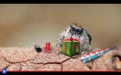 I ragni salterini e la magia di Natale Nell'opinione di milioni di bambini, il momento migliore delle festività associate al finire dell'anno è quello in cui si aprono i regali: terminata l'attesa, dimenticate le grandi abbuffate, al risv #animali #ragni #internet #feste #natale