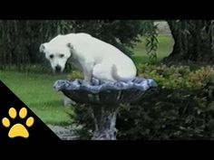 Compilation of Labradors being Awesome (VIDEO) | Best Animal Videos | PawBonito.com