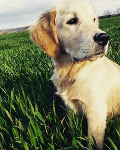 Golden into the wild @yummypets