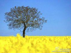 2015年04月25日 - 瑞士洛桑附近,油菜花田里的一棵树。摄影师:Denis Balibouse 阅读全文: http://page.iweek.ly/hmcncn.html --分享来自@iWeekly周末画报 Android 版