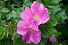 Posts about small garden fences written by outofmyshed Native American Herbs, Beautiful Roses, Plants, Giant Roses, Spring Blooms, Hedges, Most Beautiful Flowers, Planting Herbs, Rose